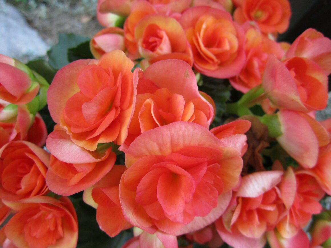 Best Flowers For Hanging Baskets (Begonia)