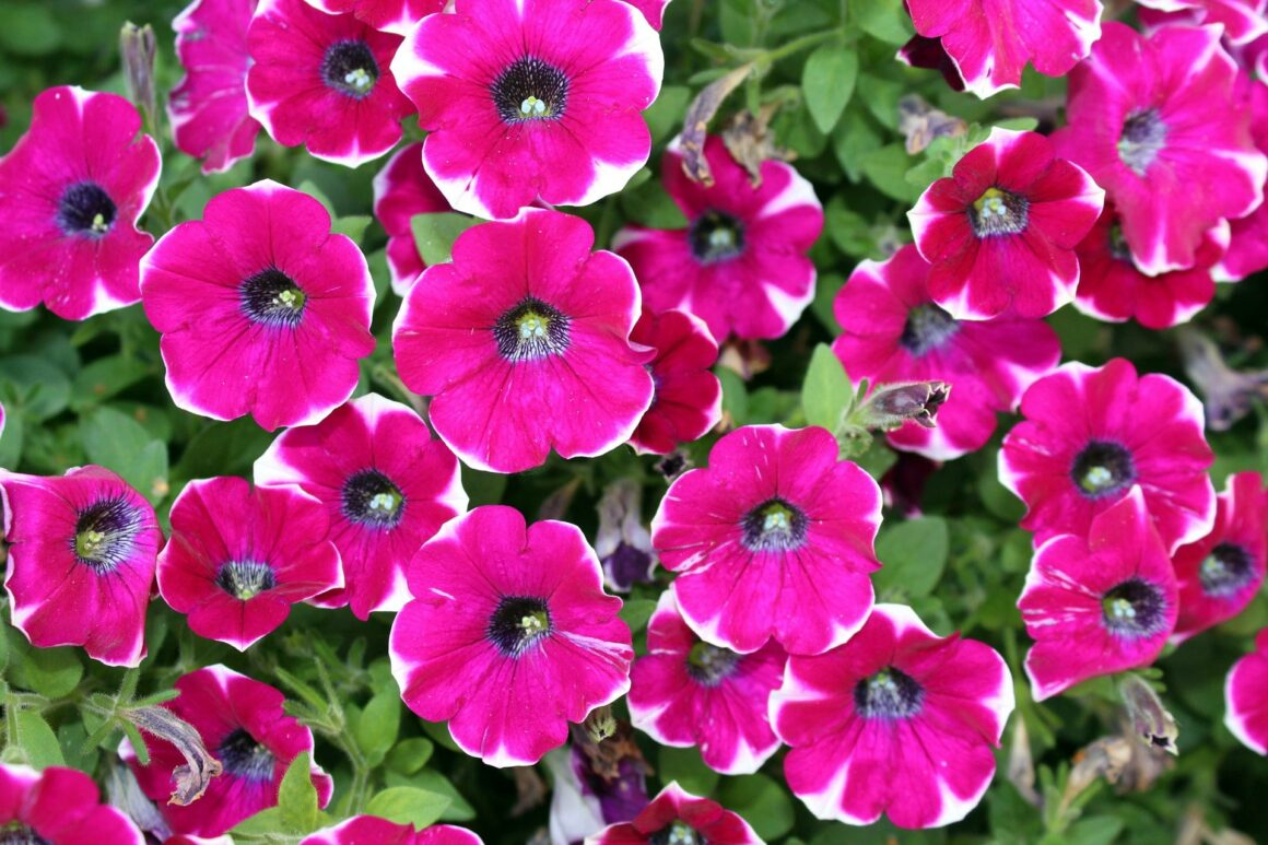 Best Flowers For Hanging Baskets (Petunias)