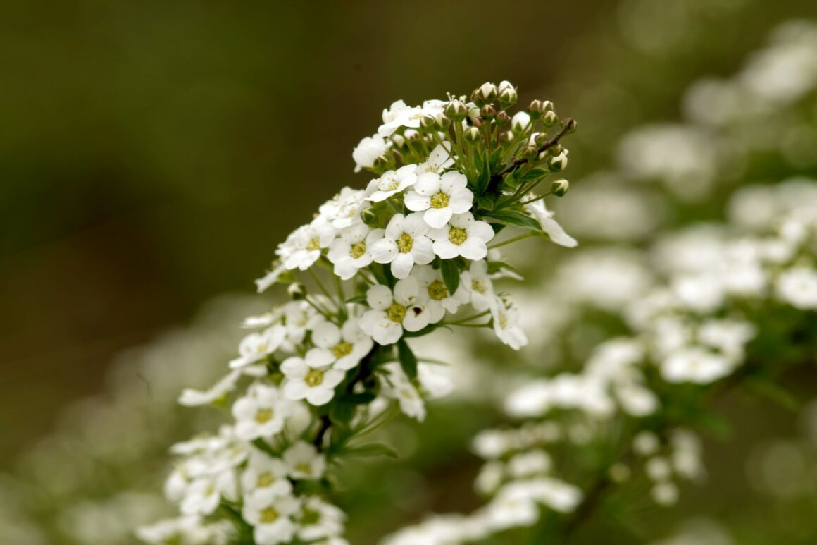Best Flowers For Hanging Baskets (Sweet Alyssum)