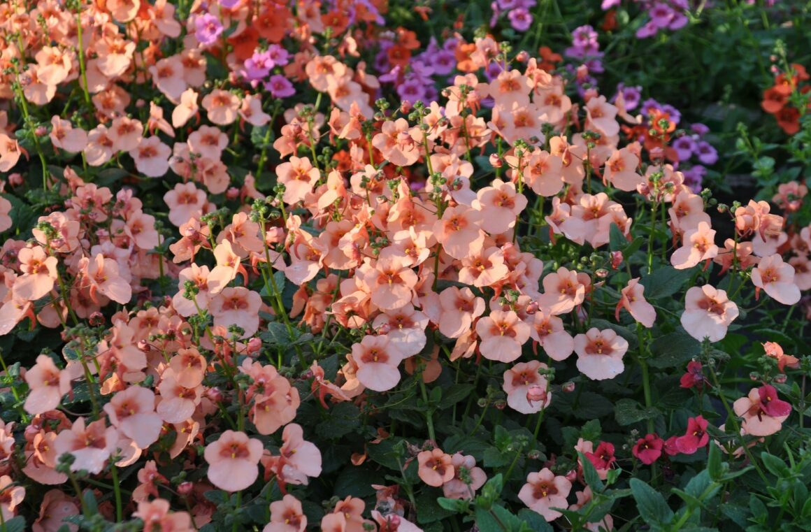Best Flowers For Hanging Baskets (Diascia)