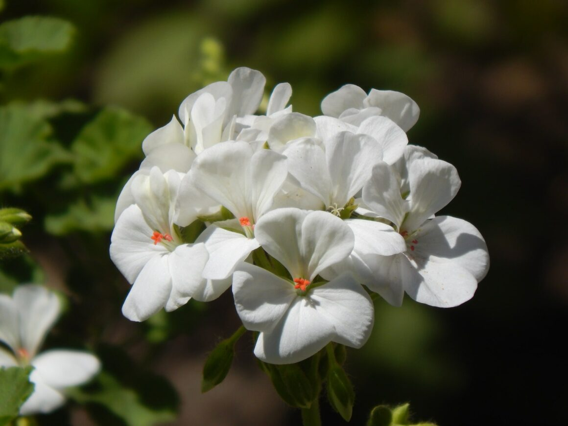 Best Flowers For Hanging Baskets (Geranium)