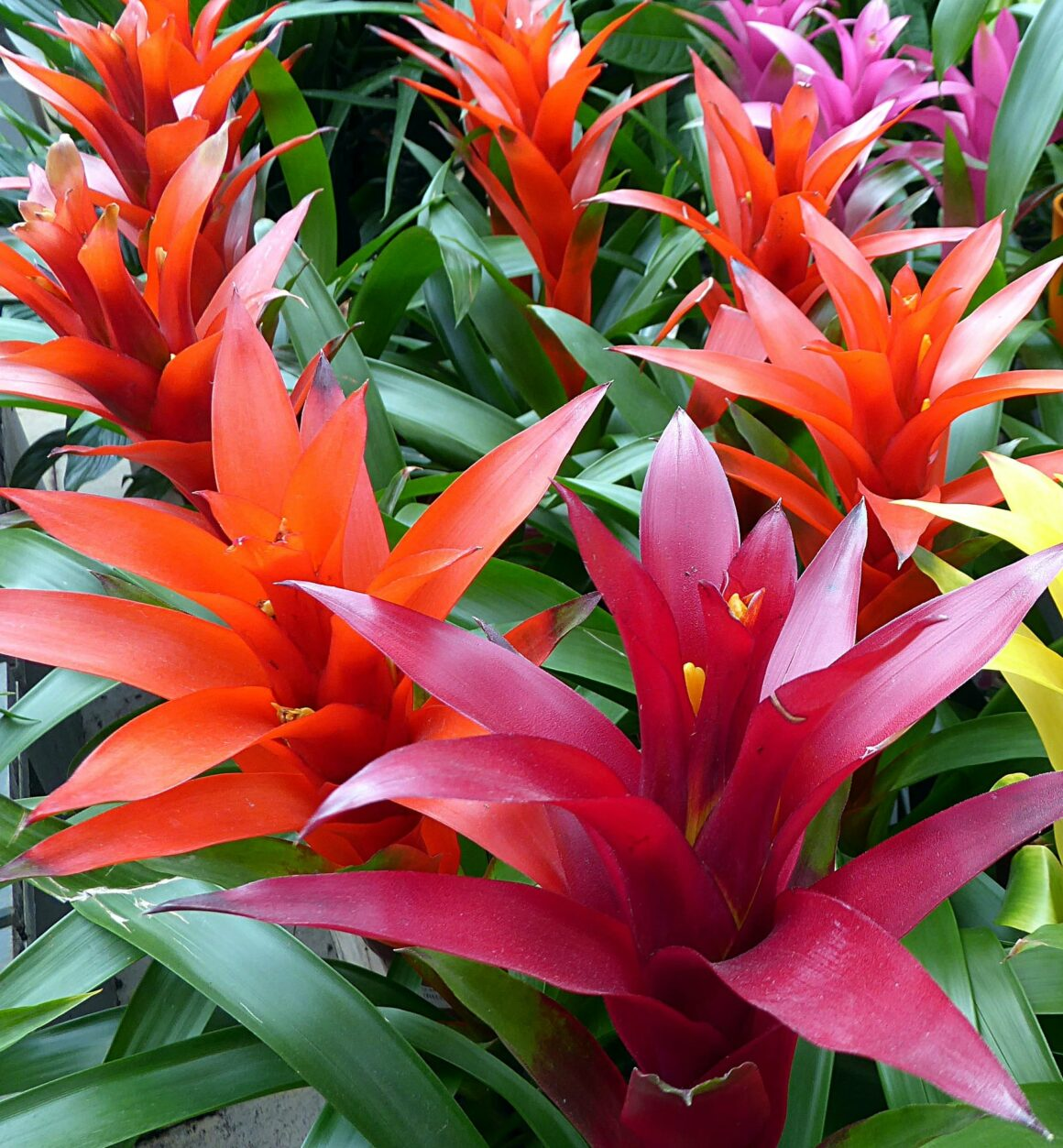 Bromeliads (Houseplants Safe For Cats And Dogs)