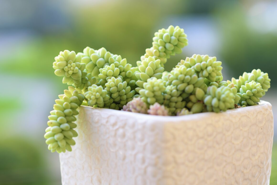 Burros Tail Succulent (Houseplants Safe For Cats And Dogs)