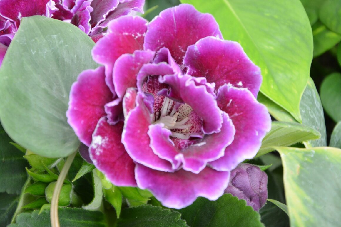 Gloxinia (Houseplants Safe For Cats And Dogs)