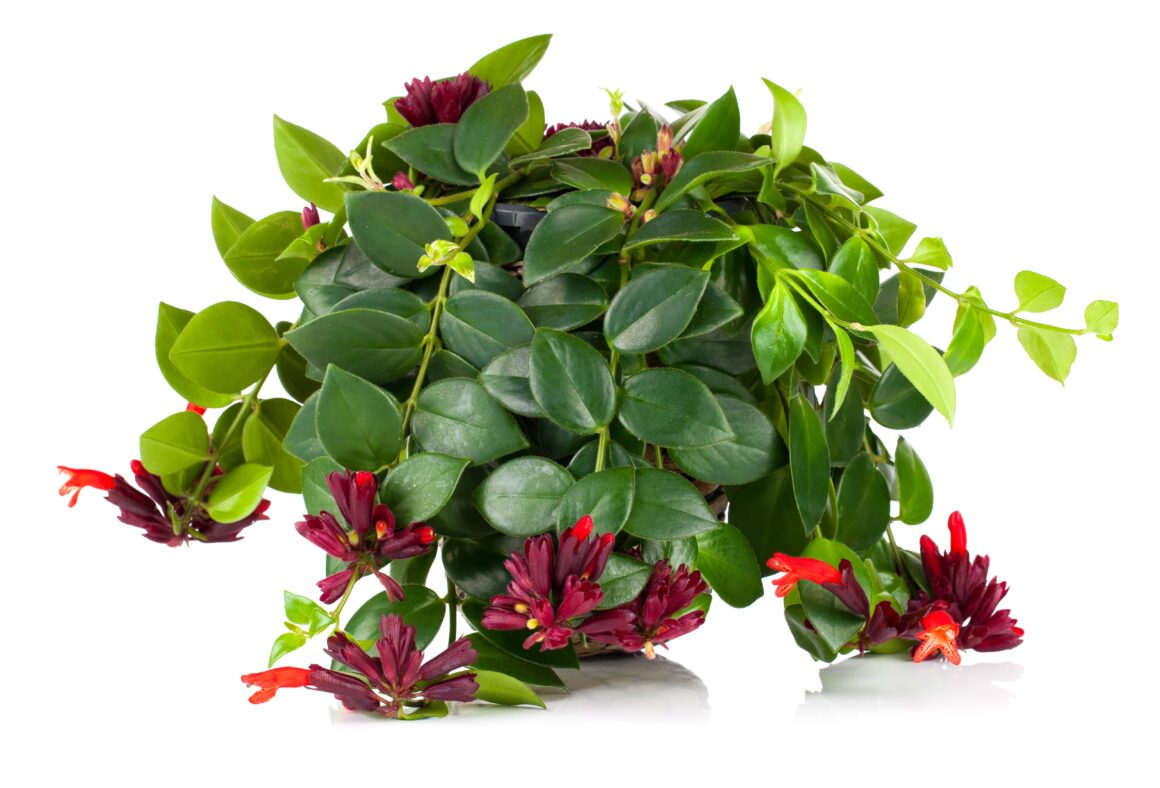 Lipstick Plant (Houseplants Safe For Cats And Dogs)