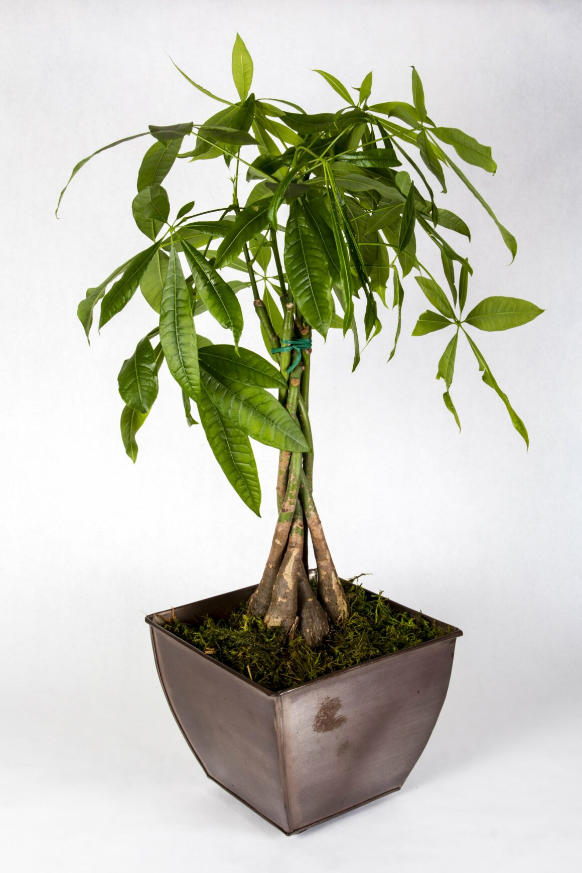 Money Tree (Houseplants Safe For Cats And Dogs)