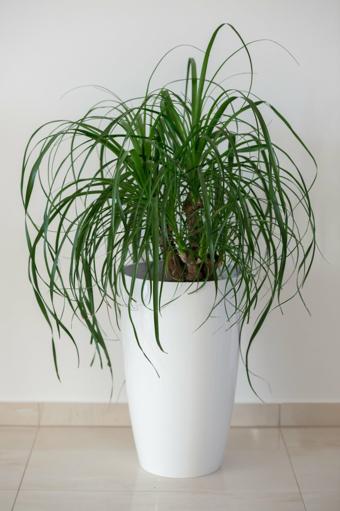 Ponytail Palm (Houseplants Safe For Pets)