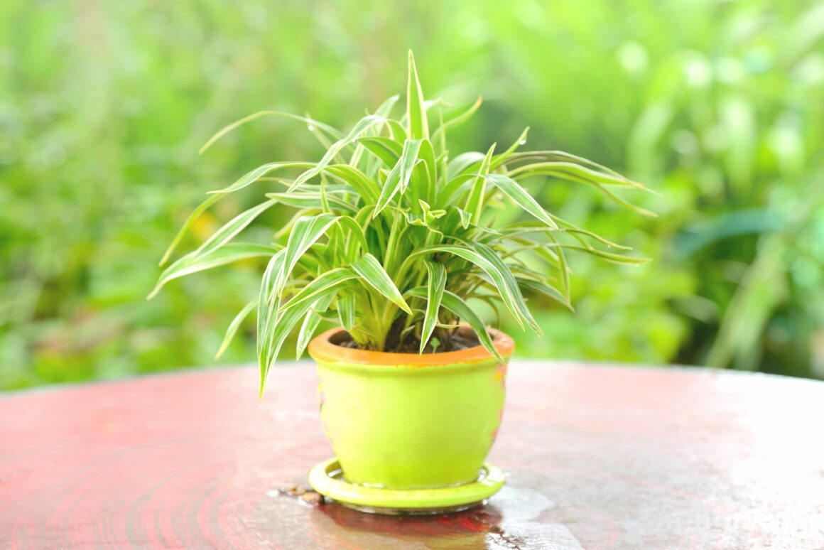 Spider Plant (Houseplants Safe For Cats And Dogs)