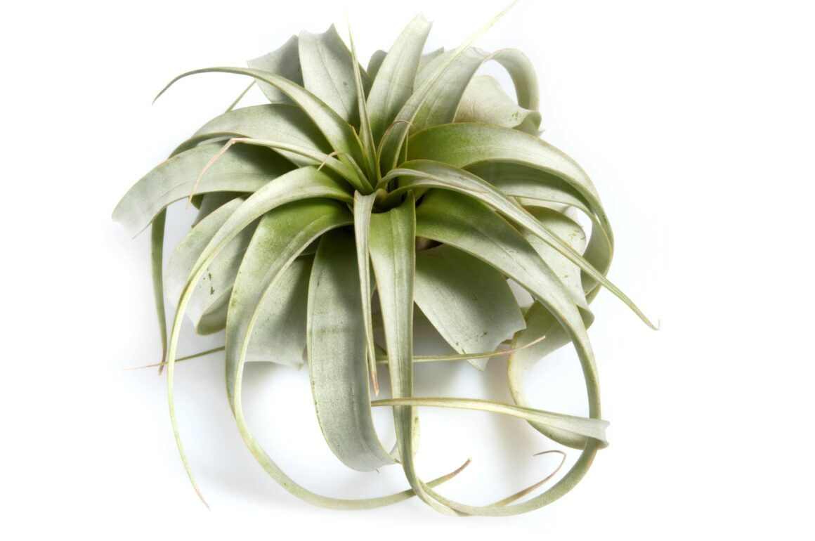Xerographica Air Plant (Houseplants Safe For Cats)