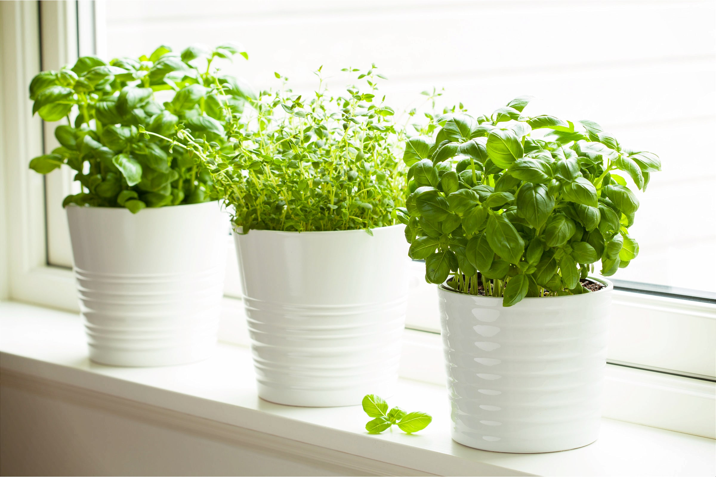 Growing Herbs Indoors (Basil And Thyme)