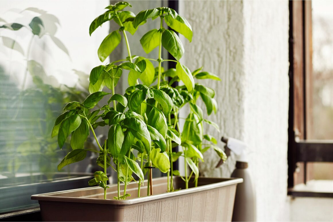 Basil Growing In A Windowsill Planter - What Is Indoor Gardening?