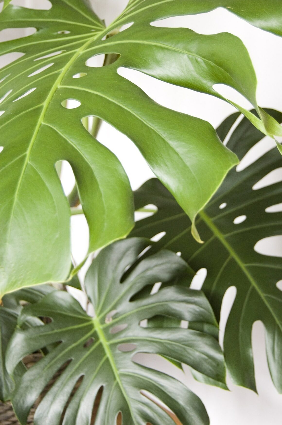 Large Indoor Plant - Monstera Plant