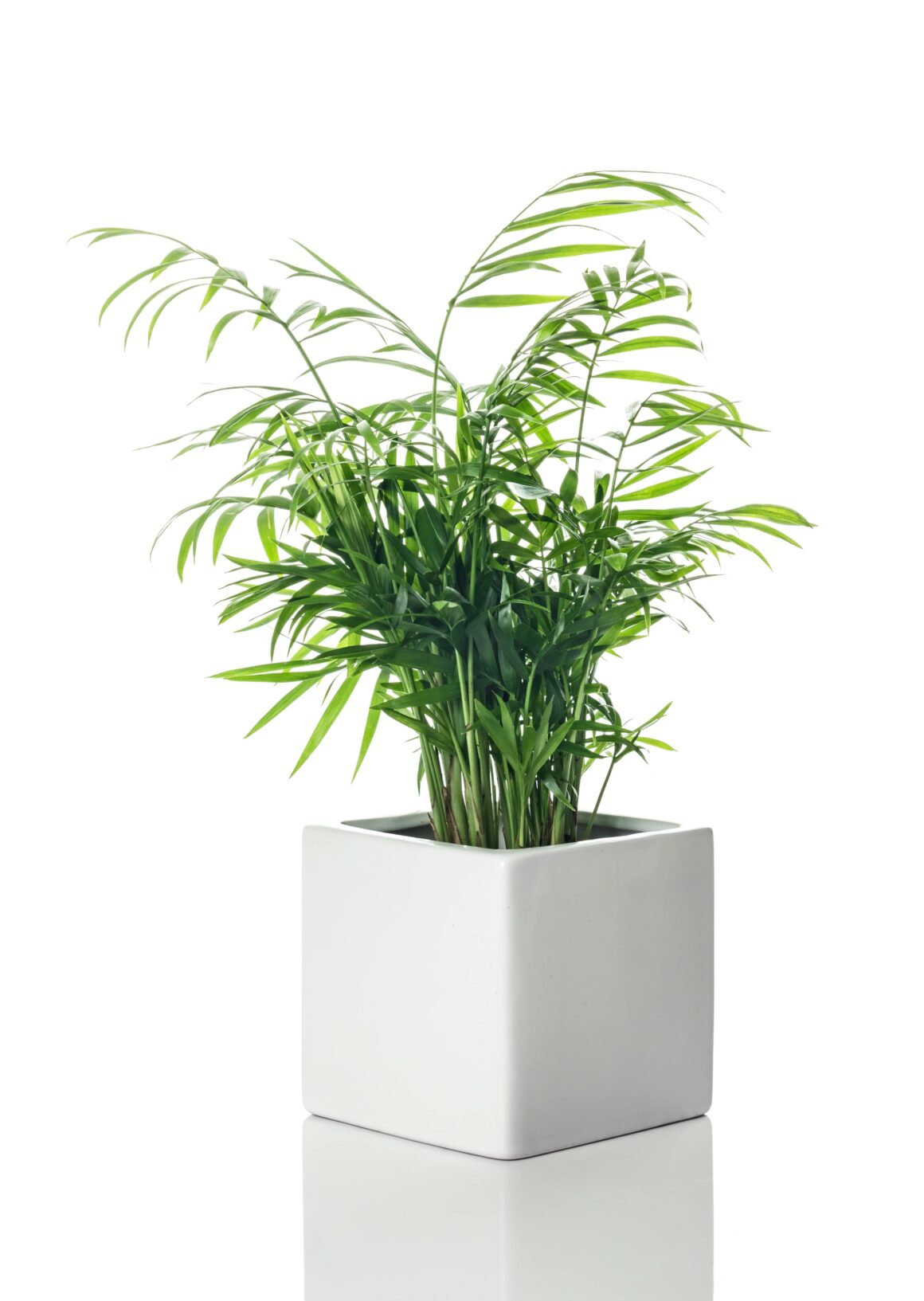 Large Indoor Plant - Parlor Palm