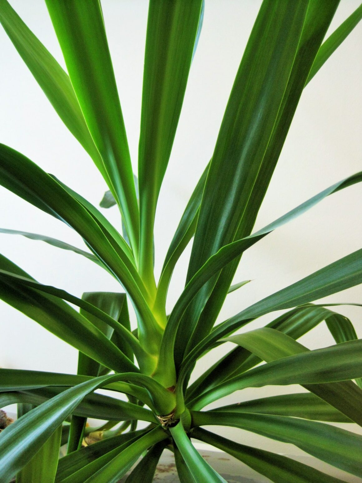 Yucca - Tall Indoor Plant