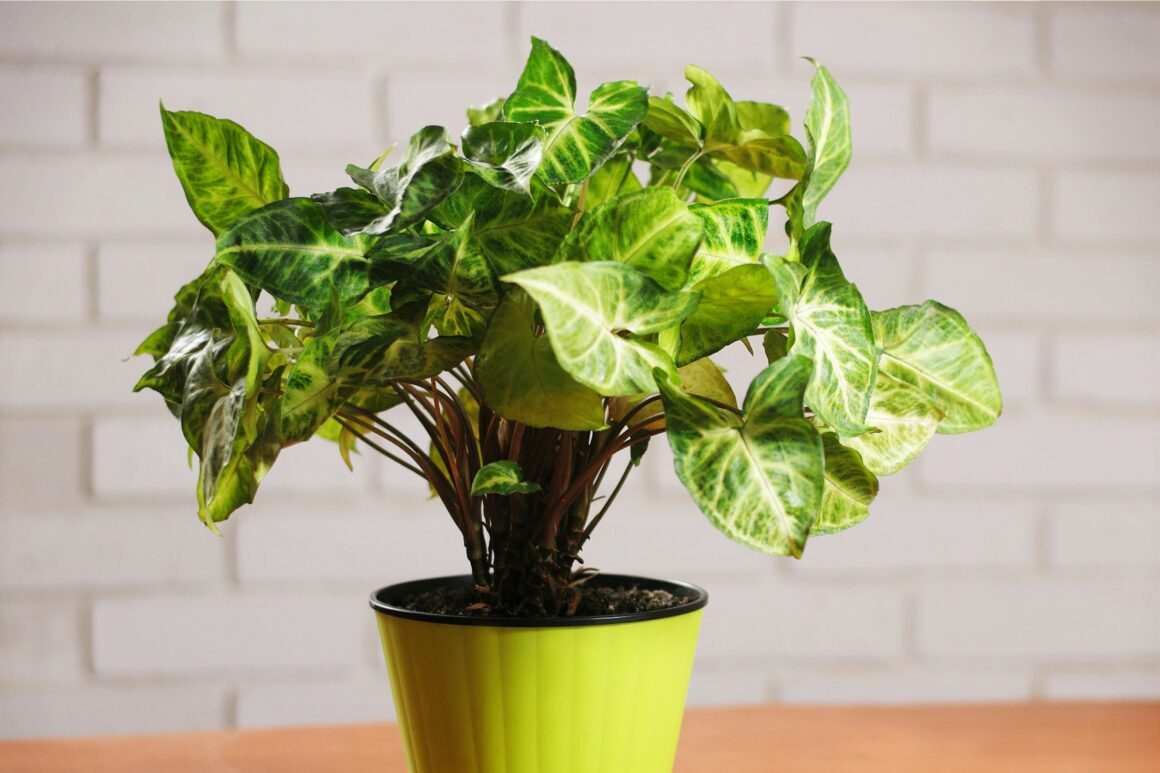 Best Indoor Hanging Plant - Arrowhead Plant