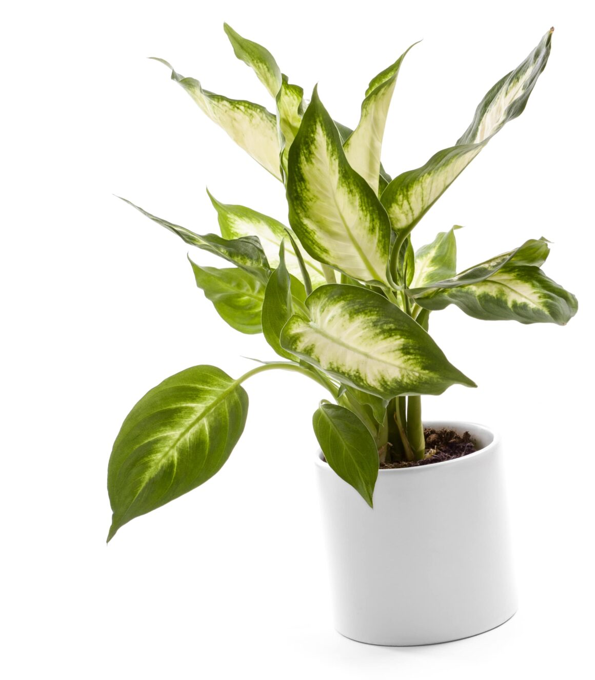 Dumb Cane Is An Indoor Tree Plant