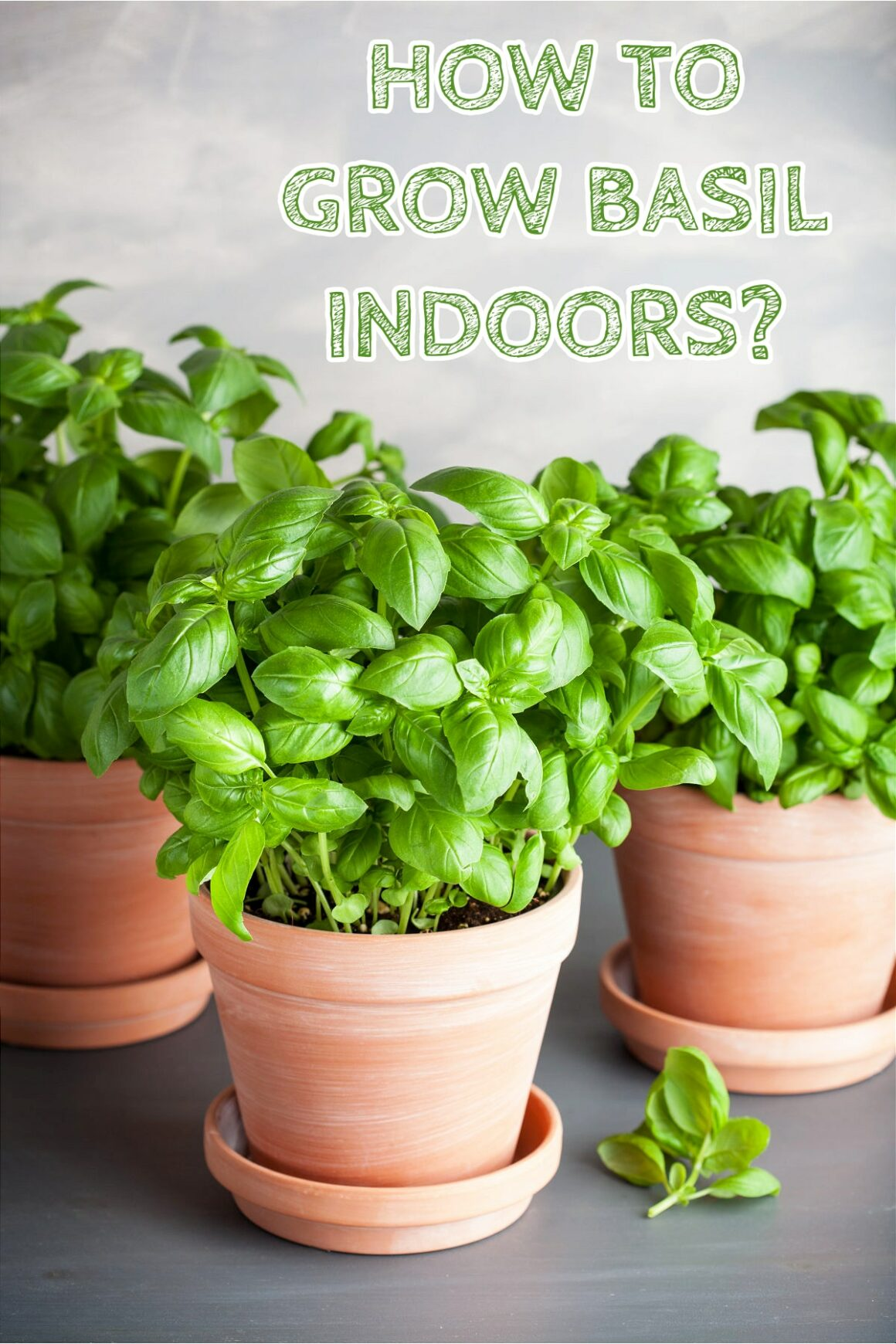 How To Grow Basil Indoors?