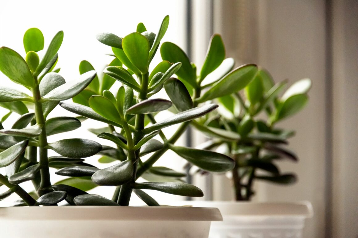 Jade Plant Is An Indoor Tree Plant