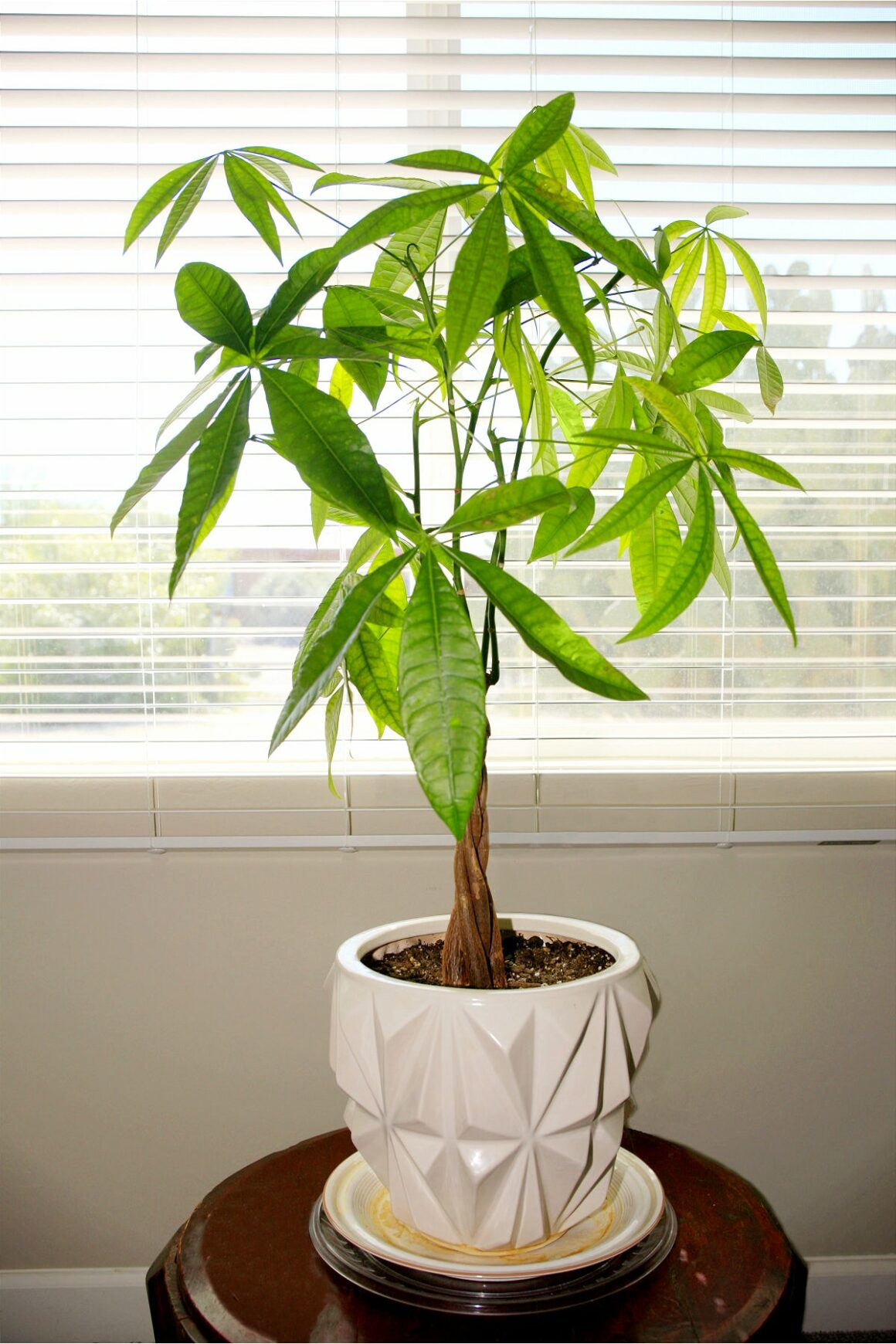 Money Tree Is An Indoor Tree Plant