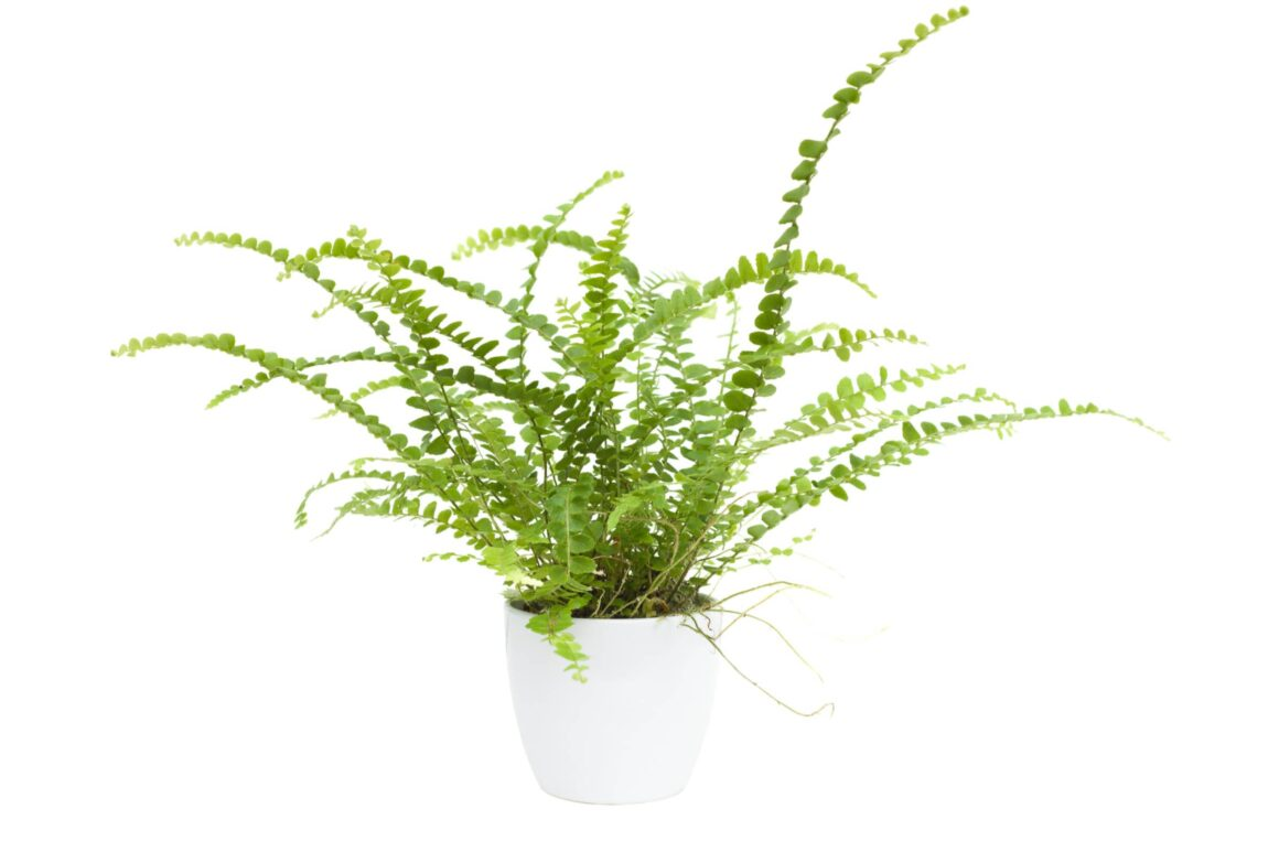 Best Indoor Hanging Plant - Small Maidenhair Fern In A Pot