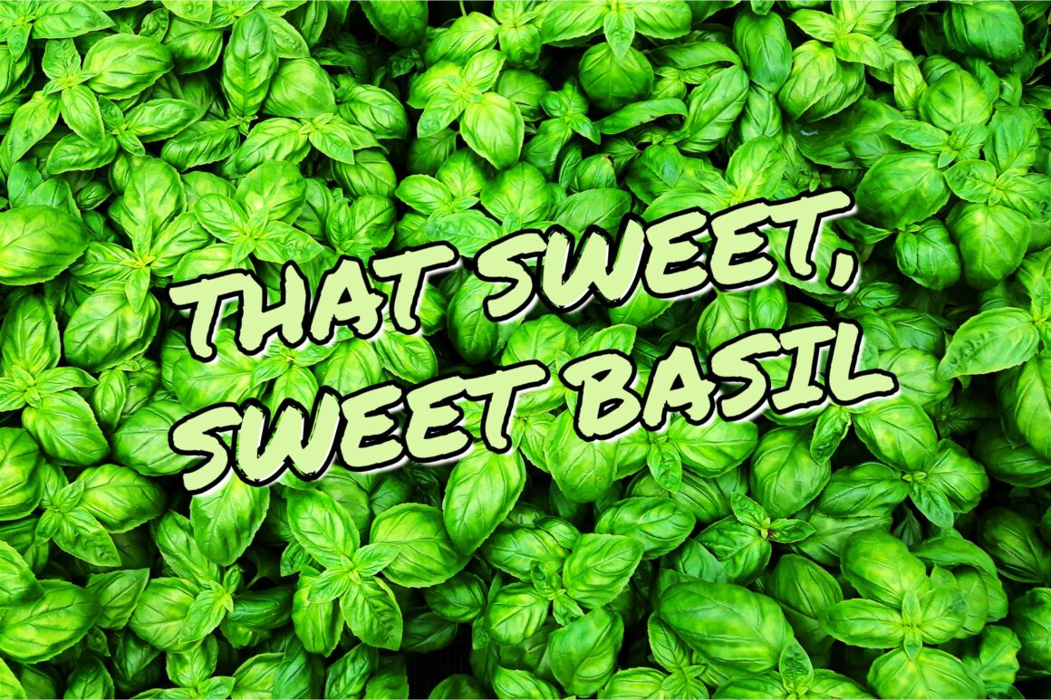 That Sweet, Sweet Basil - How To Grow Basil Indoors?