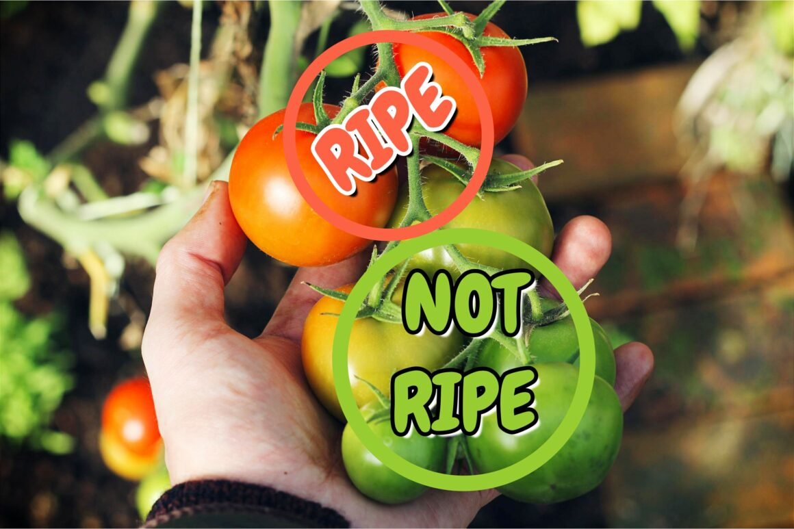 A Person Holding Ripe And Unripe Tomatoes