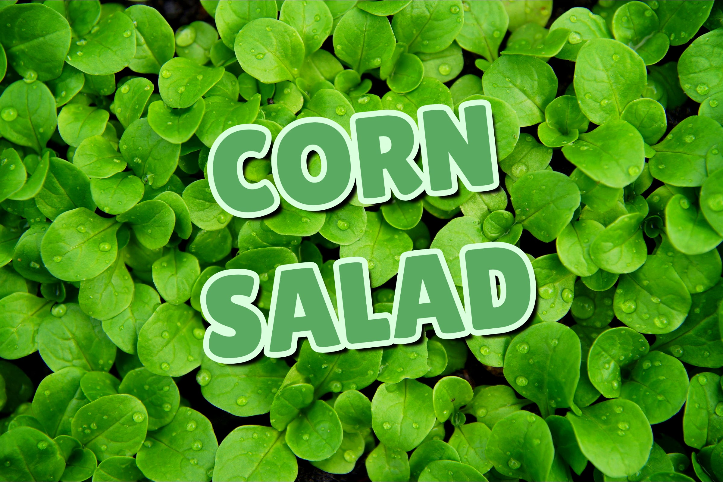What Is The Corn Salad Plant?