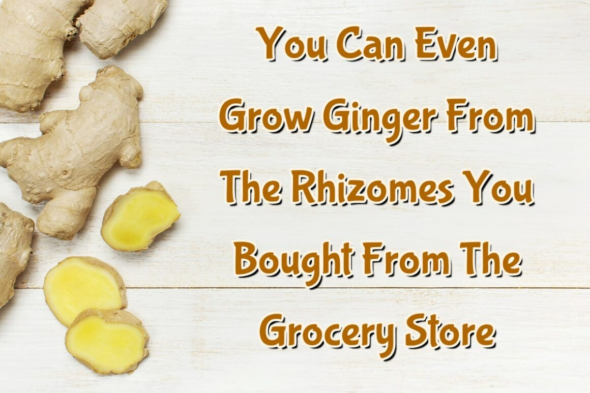 You Can Even Grow Ginger From The Rhizomes You Bought From The Grocery Store