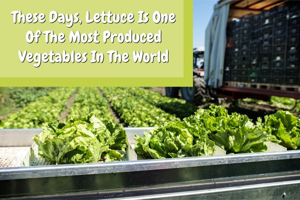 Lettuce Is One Of The Most Produced Vegetables In The World