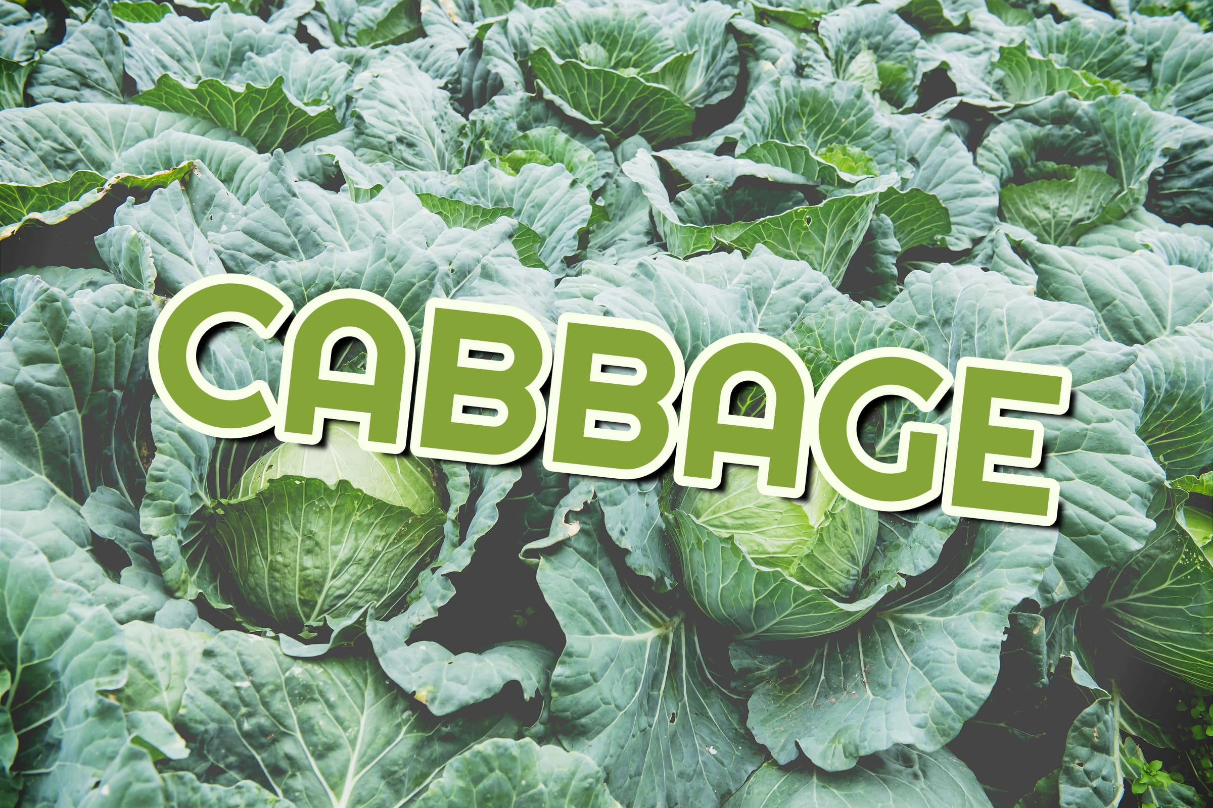 What Is The Cabbage Plant?