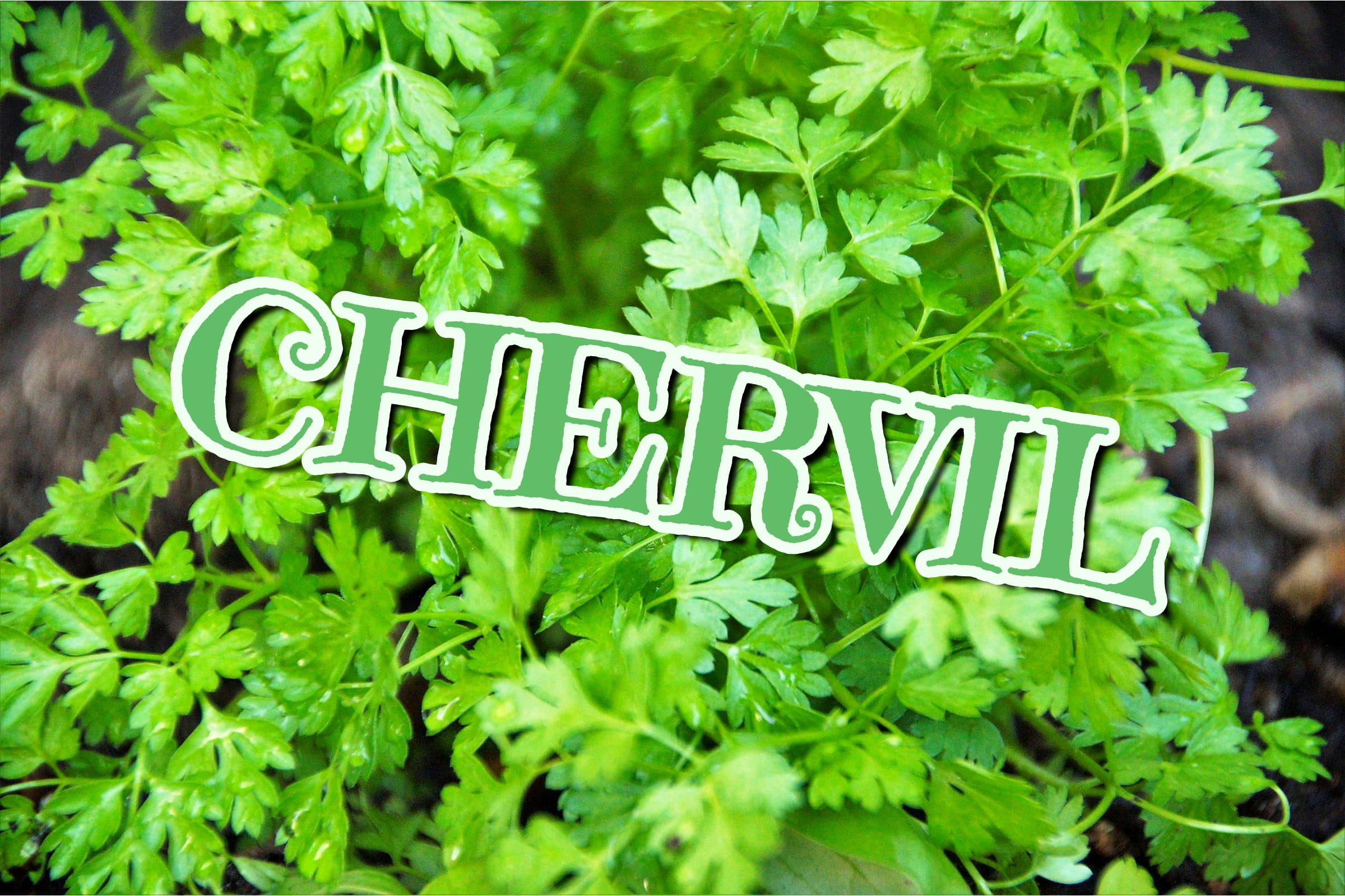 What Is The Chervil Plant?