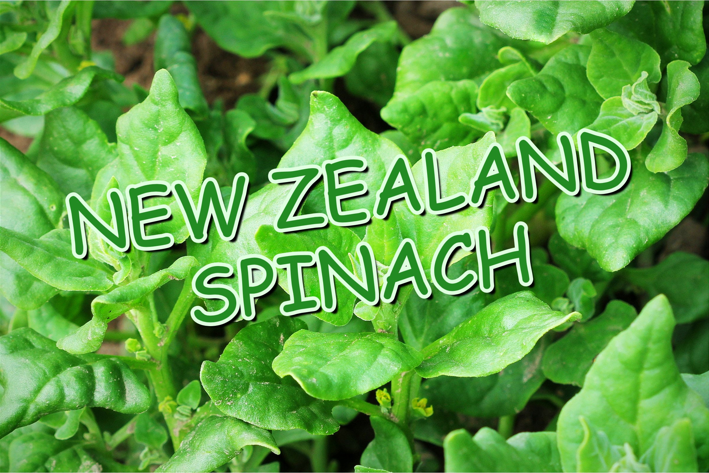 What Is The New Zealand Spinach Plant?
