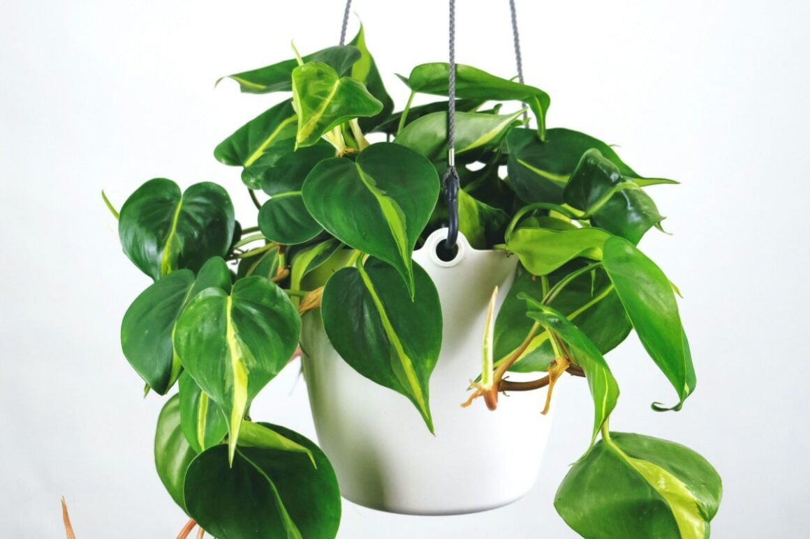 Heartleaf Philodendron In A White Pot